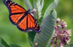 monarch_milkweed