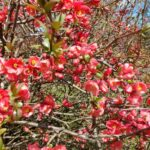 """Flowering Quince """"Chaenomeles speciose"""" from Martha's garden (early spring bloomer)"""